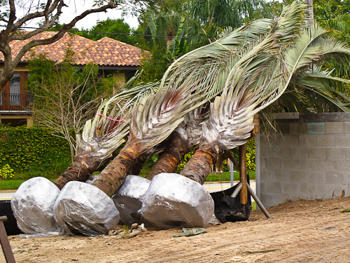 Palm Trees ready to be planted